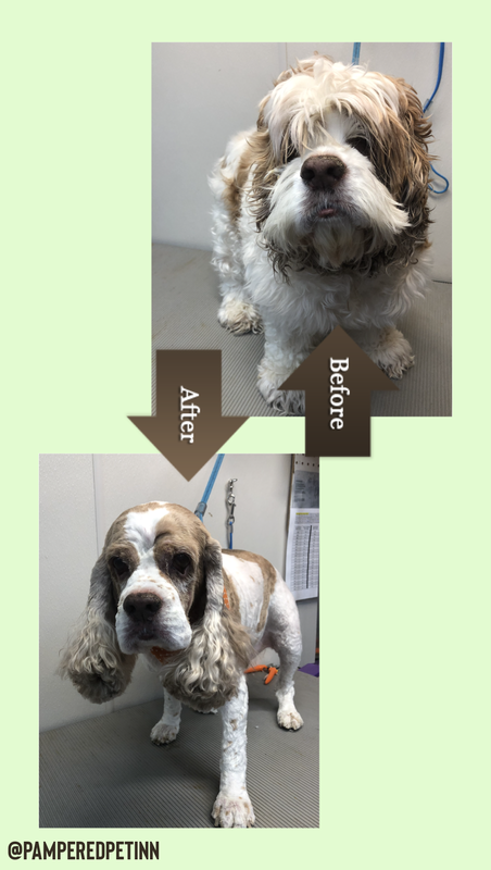 Before and After Grooming Dog